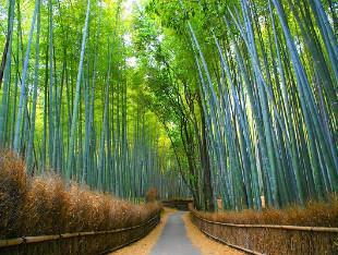 La foresta di Bambù.