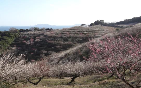 Una collina di pruni giapponesi