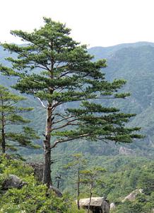 250px-Pinus_densiflora_Kumgangsan[1]
