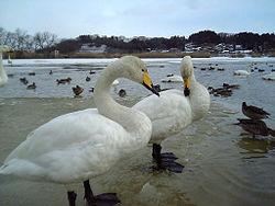 250px-Swan_cygnus[1]